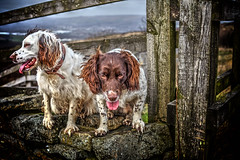 Rupert and Razz (Missy Jussy) Tags: rupertandrazz myboys cromptonmoor dogwalk dogs pets animals animalportrait petportrait dogportrait shaw outdoor outside countryside oldham goodtimes happiness fence wall drystonewalls 50mm ef50mmf18ll ef50mm canon50mm fantastic50mm canoneos5dmarkii canon5d canon5dmarkll canon littledoglaughedstories