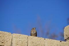 Bird Shots of 2/22/19 (boxbabe86) Tags: february birding backyard southerncalifornia shadowpines california birdwatching nature sonya6000 a6000 lincoln'ssparrow sparrow sony bird