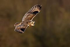 Short-eared Owl (Asio flammeus) (DerekL1) Tags: shortearedowl asioflammeus bird birdofprey wild inflight westmidlands uk
