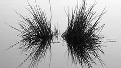 Im Brenner Moor (petra.foto busy busy busy) Tags: fotopetra nature outside spiegelung schleswigholstein schwarzweis brennermoor moor frühling spaziergang februar 2019 5dmarkiii