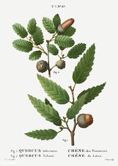 1. Aleppo oak (Quercus infectoria) 2. Lebanon oak (Quercus Liban