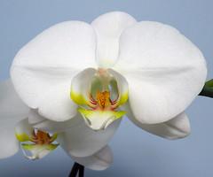White Phalaenopsis (arbyreed) Tags: arbyreed flower phalaenopsis orchid mothorchid whitemothorchid whiteorchidonabluebackground close closeup white whiteflower