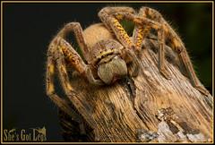Lion Huntsman (Neosparassus magareyi) (caitlinhenderson) Tags: sparassidae neosparassus huntsman badge spider