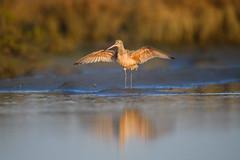 Marbled Godwit (nikunj.m.patel) Tags: godwit marbledgodwit nature birds birdphotography shorebird nikond850 wildlife wild california sandiego