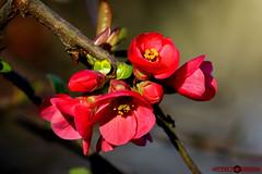 Fleurs de Prinptemps (Art Phil Photographie) Tags: proxy couleurs printemps nature canon 50d