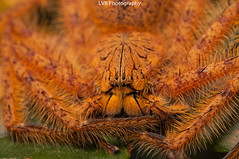Heteropoda davidbowie (lorenzobertola) Tags: sparassidae huntsman heteropoda heteropodadavidbowie spider arachnidae sumatra southsumatra indonesia
