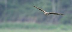 CIRCUS AEROGINOSUS (Gilberto Viana) Tags: aves passaros natureza ria aveiro vagos birds