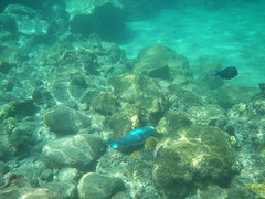 Big blue parrot fish - Anse Chastanet, St Lucia (h_savill) Tags: 2019 february feb holiday travel vacation tourist trip explore worldwide st lucia caribbean antilles windward isle soufriere piton view landscape beach sea water marine anse chastanet ansechastanet sand ocean snorkel underwater life fish boat stlucia