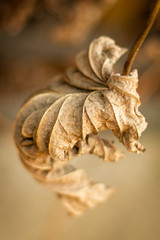 Ready to Unfurl? (Katrina Wright) Tags: dsc3419edit leaf dried autumn fall brown orange nature decay dry pattern line texture macro dof