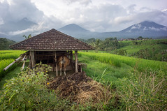around Jatiluwih (kuuan) Tags: manualfocus mf voigtländer15mm cvf4515mm 15mm bali indonesia sonynex5n riceterace jatiliwuh tabanan view mountbatukaro cowshed cow