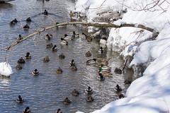 Canards colverts - Mallard ducks, Québec, Canada - 9698 (rivai56) Tags: canardscolverts mallard ducks québec canada 9698 canard beaucoup de canards au ruisseau many creek parc du domaine maizerets park quebeccity