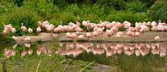 Pat of Flamingos (AreKev) Tags: patofflamingos pat flamingos flamingo bird phoenicopteridae wwt wwtslimbridge wetland reserve wildfowlandwetlandstrust slimbridge riversevern sirpeterscott gloucestershire england uk nikond7100 nikon d7100 55300mmf4556gedvr luminar3