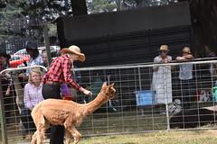 DSC_5101 (VAYG) Tags: vay vytec paraders aaa victorian alpaca association youth australian australia iar 2019 alpacas alpacalypse crystal cove profarma jay hall athena melbourne show redhill red hill