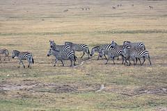 Plains Zebras in the Serengeti, Tanzania (inyathi) Tags: eastafrica tanzania africananimals plainszebras equusquagga grantszebra equusquaggaboehmi boehmszebra wildhorses equines zebras serengeti africanwildlife africa