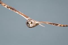 D85_7151 (WildKernow) Tags: see shortearedowl cornwall newquay uk owl