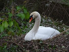 Pretty, stupid swan (Phil Gayton) Tags: water bird mute swan cygnusolor pen nest mill tail river dart totnes devon uk