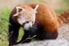 Red Panda (Lisa Roeder) Tags: redpanda panda atascaderozoo atascadero zooanimals
