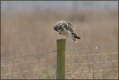 Short-eared Owl (image 3 of 3) (Full Moon Images) Tags: wicken fen burwell nt national trust wildlife nature reserve cambridgeshire bird birdofprey shorteared owl