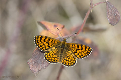 Melitaea deione (Geyer, 1832) (ajmtster) Tags: macrofotografía macro insecto invertebrados mariposa mariposas lepidopteros nymphalidae ninfalidos melitaeadeione melitaea deione doncellaiberica amt anverso