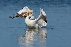 Bathing beauty (ChicagoBob46) Tags: americanwhitepelican whitepelican pelican bird jndingdarlingnwr florida sanibel sanibelisland nature wildlife coth5 ngc naturethroughthelens npc