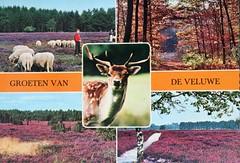 De Veluwe (Steenvoorde Leen - 14.2 ml views) Tags: ansichtkaart briefkaart card postcard kart postkarte cardar postal tarjeta carta korespodenzkarte correspodenzkarte brefort cartolina listek korespodencni old postcards geschiedenis historie history develuwe nederland netherlands holland hollande olanda nederlanderna hollanda dieniederlande lespaysbas dieniederlandenederlandene