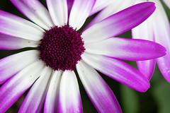 20190414-850_4850 (jeff's pixels) Tags: pastel color macromondays macro nikon d850 flower nature plant purple spring garden