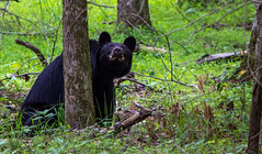Mama watching her cub in the tree (TDog54Photography / TCS Photography) Tags: black bear bears smoky mountains tennessee cades cove wildlife wild life animal american north america ursus americanus animals forest national park great