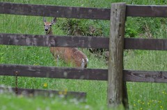 2018 05 21 692 Carr farm, WV (Mark Baker.) Tags: 2018 america baker braxton county mark may north us usa virginia wv west day deer outdoor photo photograph picsmark rural spring states united whitetailed wildlife