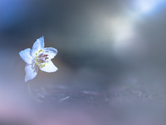 Informing the end of winter (Tomo M) Tags: winter spring flower nature bokeh light bloom calender セツブンソウ 節分草 昭和記念公園 macro season tiny soft