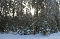 Morning in the winter forest. (ALEKSANDR RYBAK) Tags: изображения зима сезон погода природа снег мороз лес деревья сосны утро солнце солнечный свет тени пейзаж ландшафт небо
