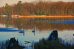 Iargo Springs - Winter 5 (jameskirchner15) Tags: iargosprings ausableriver water winter ioscocounty michigan bird swan trumpeterswan reflection goldenhour scene scenery trees