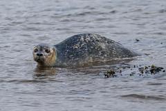 Lucky Seal.... (Dougie Edmond) Tags: maidens mamal animal seal sea beach southayrshire scotland unitedkingdom gb