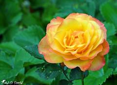 Une belle Rose à la place du soleil ! (Jean-Daniel David) Tags: fleur jaune rose vert verdure feuille bokeh jardin closeup grosplan nature saintetiennedefursac limousin nouvelleaquitaine lacreuse