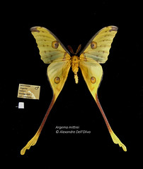 Argema mittrei (achrntatrps) Tags: saturnidae saturnidés comet comète argemamittrei alexandre dellolivo photographe photographer nikon achrntatrps achrnt atrps radon200226 radon d850 nikkor 2470mm f28 g saturninii nikkor2470mmf28g macro focusstacking bombycoidea lepidoptera insecta arthropoda animalia silkmoth moth butterfly cometmoth falter