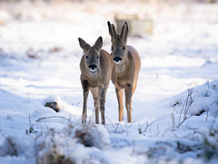 Roe in snow (Susanne Leyh) Tags: roedeer roe deer chevreuil capreoluscapreolus nature winter natur naturephotography snow frozen schnee outside outdoors nikon nikkor 300mm mammal animal animals