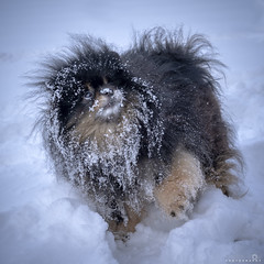 Roscoe in the Snow (BobbyFerkovich) Tags: dog pomeranian little playing snow cold faceplant sonya7riii sonyimages