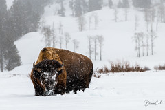 Bison and Snow (Selectivebits) Tags: yellowstone mountain snow animal bison winter winterbeauty freedomhawkx19