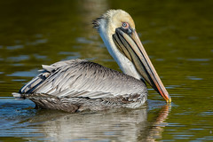 What a charmer (ChicagoBob46) Tags: brownpelican pelican bird bunchebeach fortmyers florida nature wildlife naturethroughthelens ngc coth coth5 npc