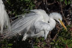 So hard to be Sexy (DonMiller_ToGo) Tags: rookery wildlife venicerookery greatwhiteegret nature onawalk birds outdoors animals egret d810 birdwatching florida