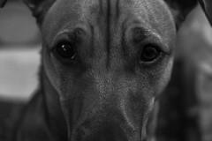 ATILA (pepacho8) Tags: dog mydog fujifilm fujifilxseries fujifilmxt2