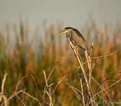 Black-Crowned Night Heron (naturethroughmyeyes.com) Tags: blackcrownednightheron nature wildlife outdoors winter florida usa northamerica canon1dx eos1dx barbaralynne copyrightbarbdarpino barbaralynnedarpino barbdeardendarpino naturephotographer wildlifephotographer femalephotographer