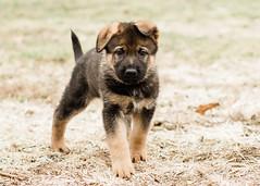 2019-03-02, Mel x Dezi Orange Male-8 (Falon167) Tags: gsd germanshepherddog german shepherd dog puppy mel dezi melxdezi litter bessie puppies