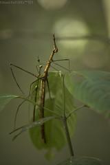 Mating Jumping sticks (Proscopiidae) (pbertner) Tags: rainforest amazon southamerica ecuador yasuni nationalpark sanilodge saniproject2017 proscopiidae horseheadedhopper mating behaviour diurnal understory