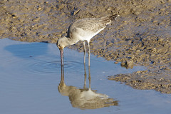 K32P7890c Black-tailed, Godwit, RSPB Titchwell, February 2019 (bobchappell55) Tags: rspbtitchwell marsh wild bird wildlife nature blacktailedgodwit limosalimosa wader feeding norfolk