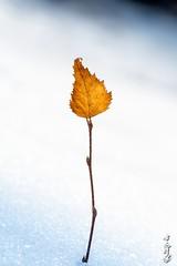 Golden leaf ... (N.Batkhurel) Tags: season spring snow leaf forest ngc nikon nikond5200 natur nikkor