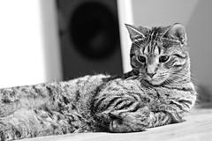 Mittens - the fabulous (JaaniicB) Tags: canon 1200d eos cat cats pet pets bokeh nifty fifty romantic eyes animal eye 50mm portrait
