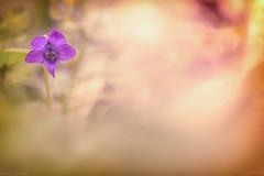 μωβ (Missy Karine) Tags: fleur nature flower violette violasylvestris ngc canon canonfrance ain picture vegetal picoftheday bokeh bokehlicious macro macroflowerlovers proxiphotographie expositionnaturelle canon100mm light colors