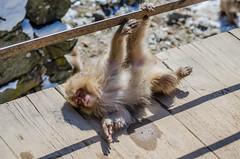 Jigokudani Monkey Park (LauraStudarus) Tags: jigokudanimonkeypark jigokudani snowmonkeys japan travel travelphotography