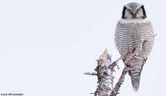Hiiripöllö (mattisj) Tags: aves birds eläimet fåglar hiiripöllö kasvit kellojänkä keminmaa kemi–tornionseutu lapinlääni lapinmaakunta linnut northernhawkowl puut pöllölinnut pöllöt strigidae strigiformes suomi surniaulula kelo hökuggla