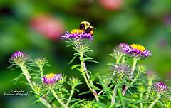 IMG_4129 Spring Is Here (Cyberlens 40D) Tags: spring seasons nature flora petals colors plants vegetation nj bees milkthistle wild